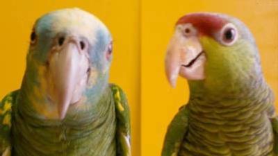 Blaukappen- u. Gelbschulteramazonen im Papageienpark