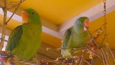 Blauscheitel-Edelpapageien im Papageienpark