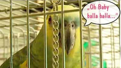Papageienparks singende Amazone im WDR