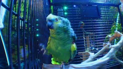 Papagei Jacko steht im Finale der Sendung Supertalent