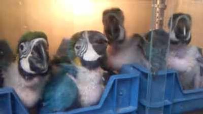 Gelbbrustara-Nachzuchten-im-Papageienpark