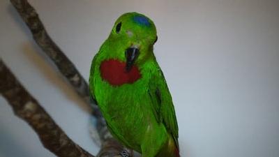 Blaukrönchen Papageien im Papageienpark