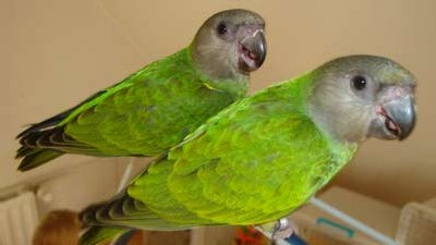 Mohrenkopfpapageien im Papageienpark