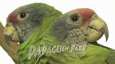 Brasiliensis Amazonen im Papageienpark
